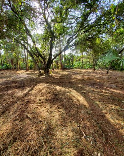 Cleared land under big shady tree by Devine Land Management Land Clearing and Forestry Mulching